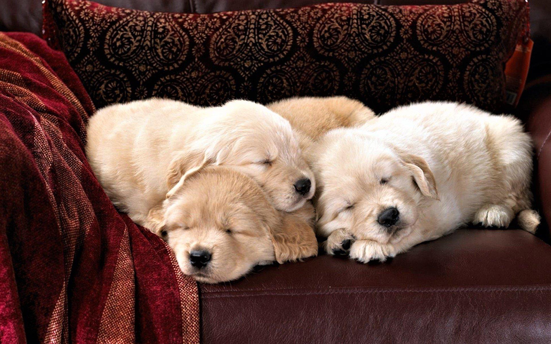 cute sleeping puppies hd wallpaper | background image | 1920x1200