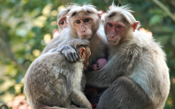 Animal Macaque Monkey Love Cute HD Wallpaper   Background Image
