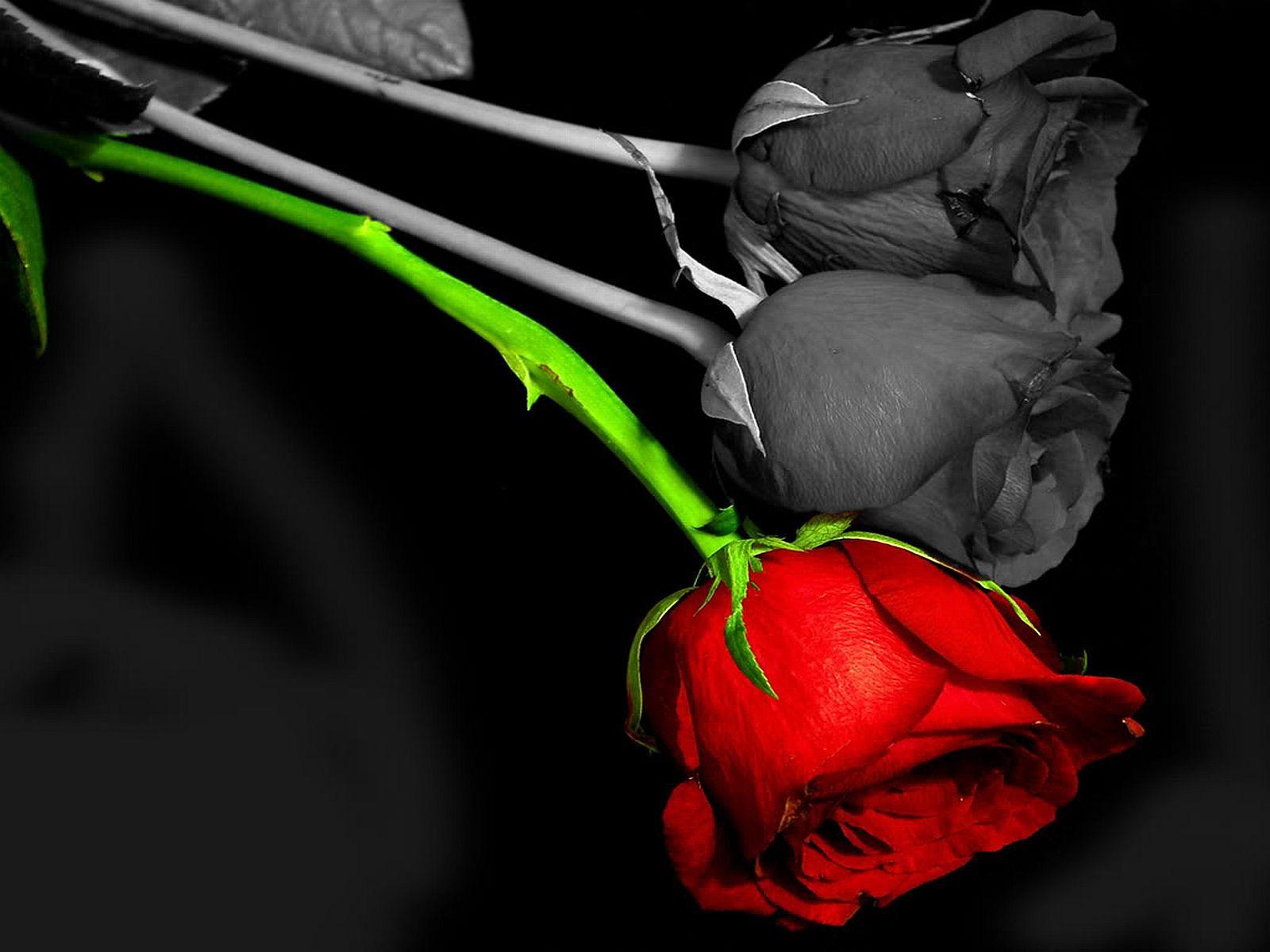 Aarde - Rose  - Bloem Achtergrond