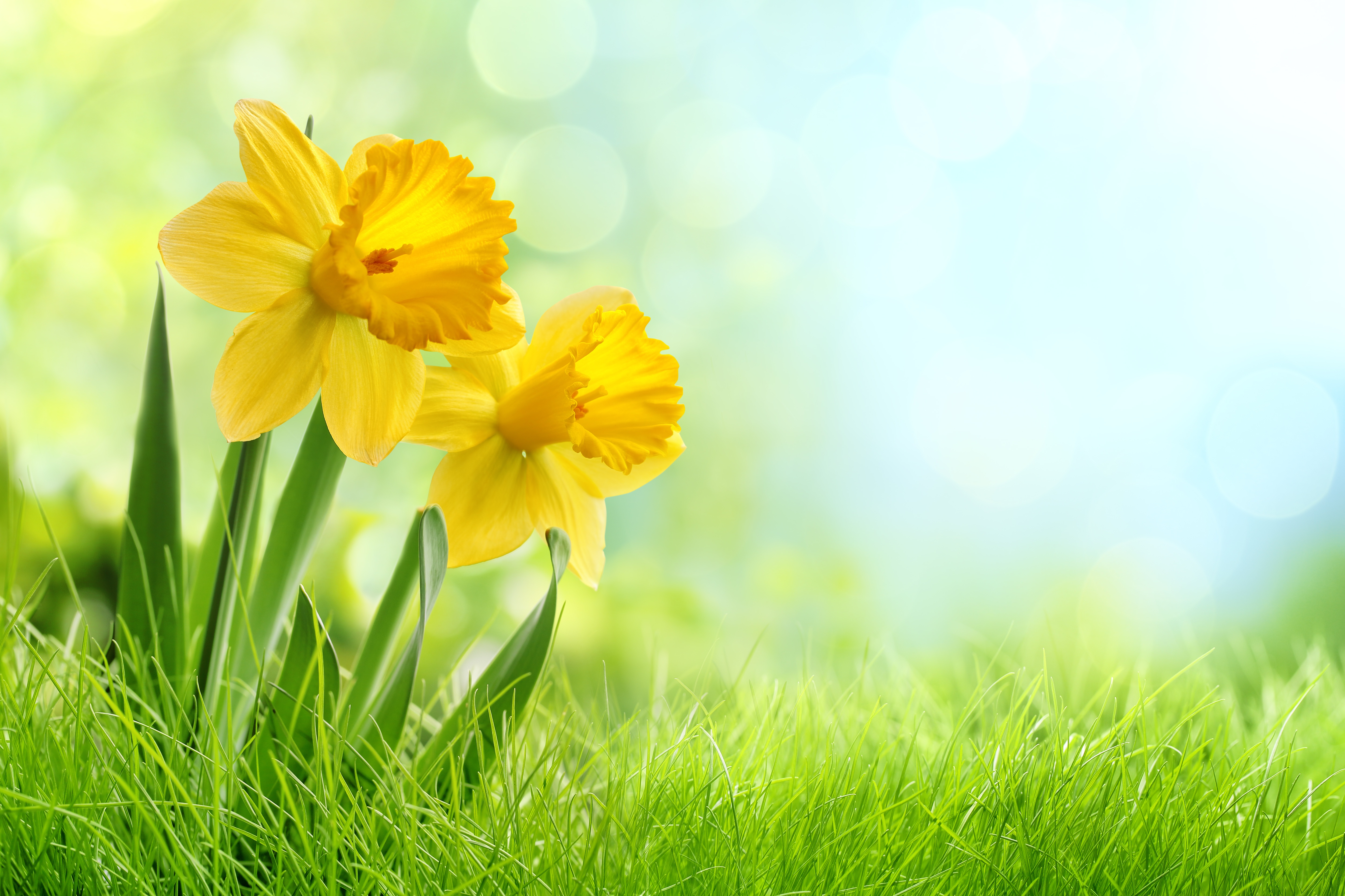 133 daffodil hd wallpapers | background images - wallpaper abyss