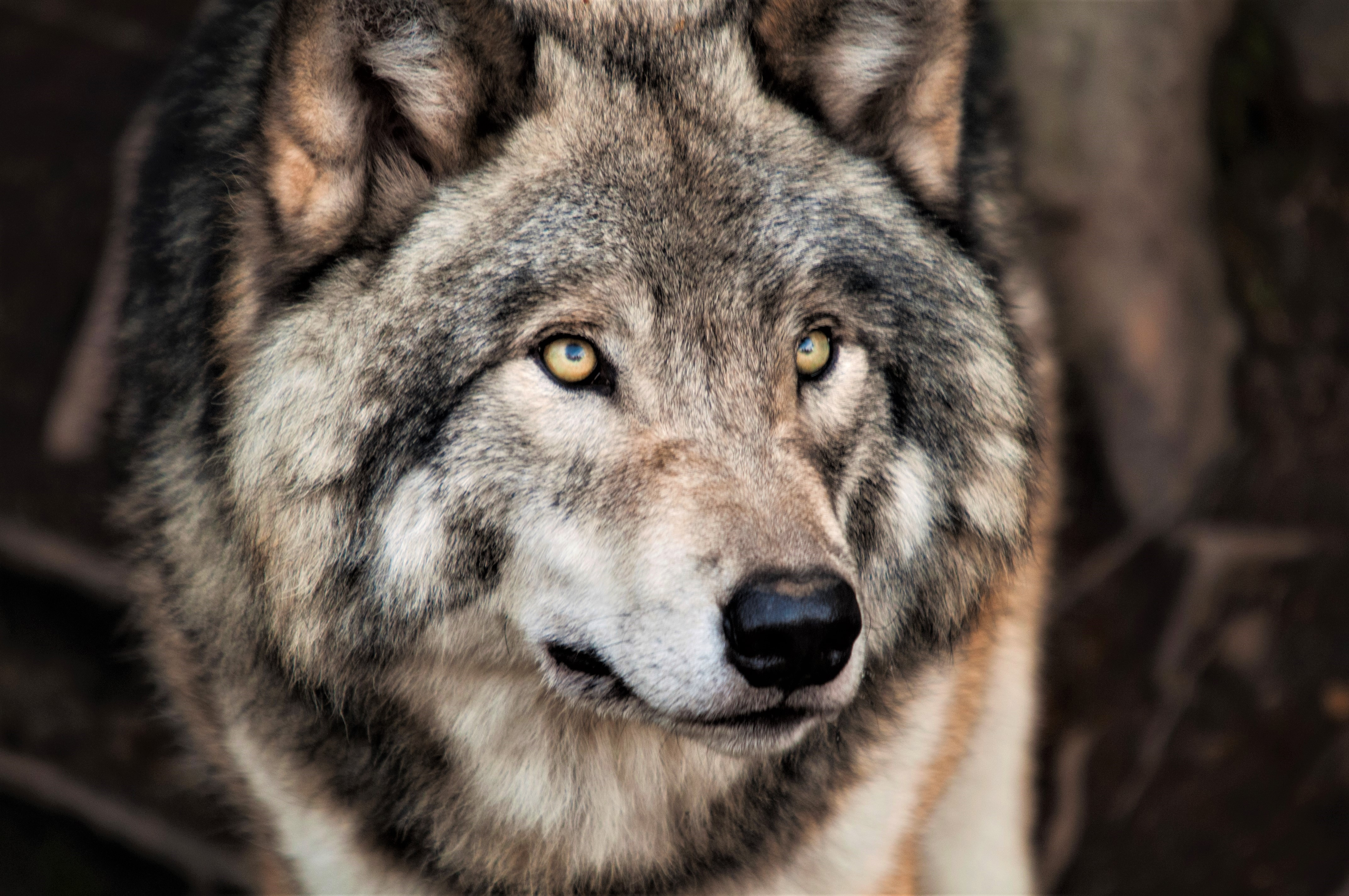 1 4K Ultra HD Grey Wolf Wallpapers | Background Images ...