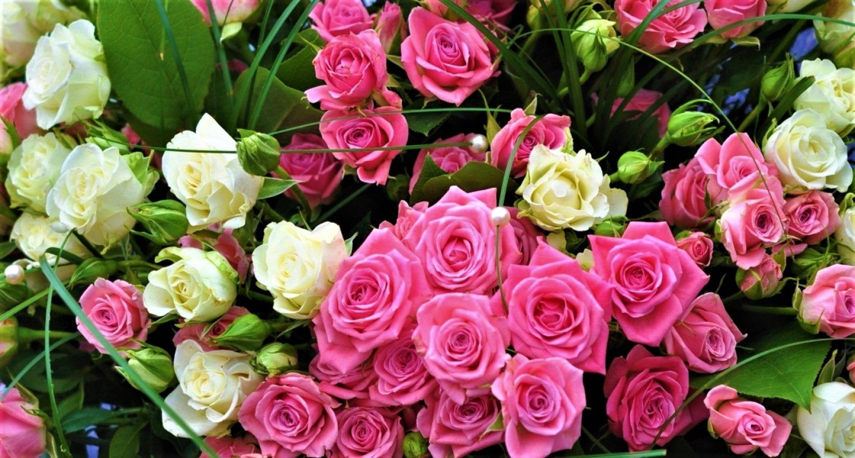 Pink And White Roses Wallpaper And Background Image 1680x900