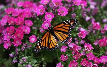 Animal - Butterfly Wallpapers and Backgrounds ID : 89319