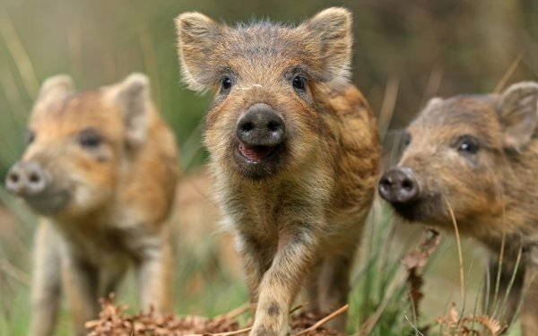 Animal Boar Pig HD Wallpaper | Background Image
