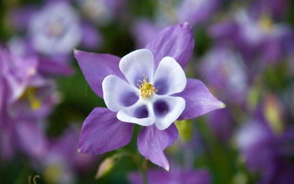 Earth Columbine Flowers Flower Purple Flower HD Wallpaper | Background Image