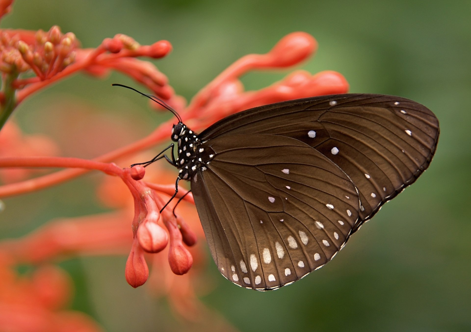 Animal - Butterfly  Flower Red Flower Insect Wallpaper