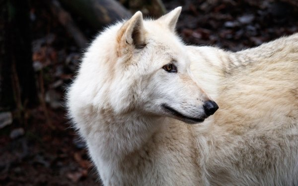 Animal Wolf predator Wildlife White Wolf HD Wallpaper   Background Image