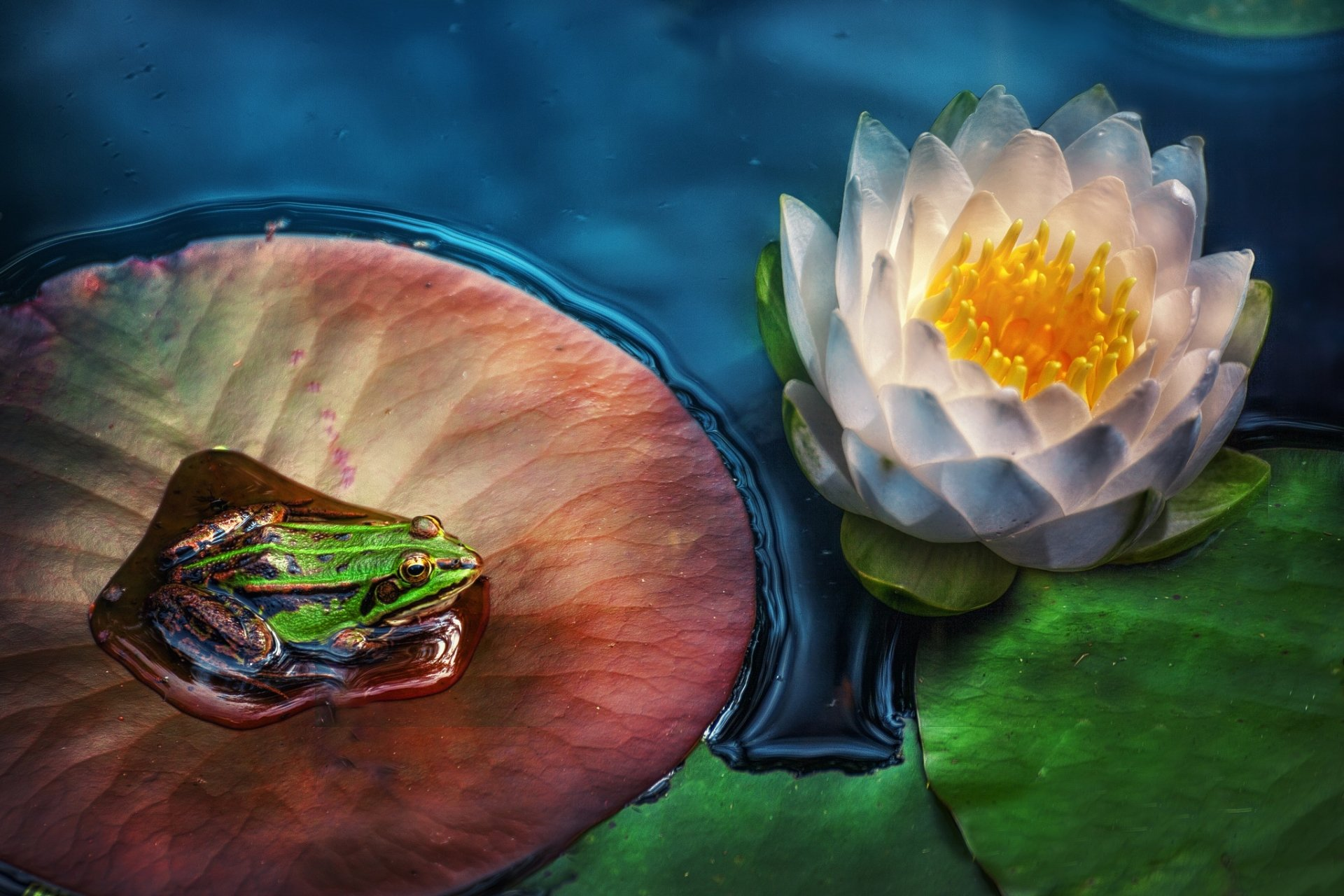 Animal - Frog  Flower Lotus White Flower Wildlife Amphibian Wallpaper
