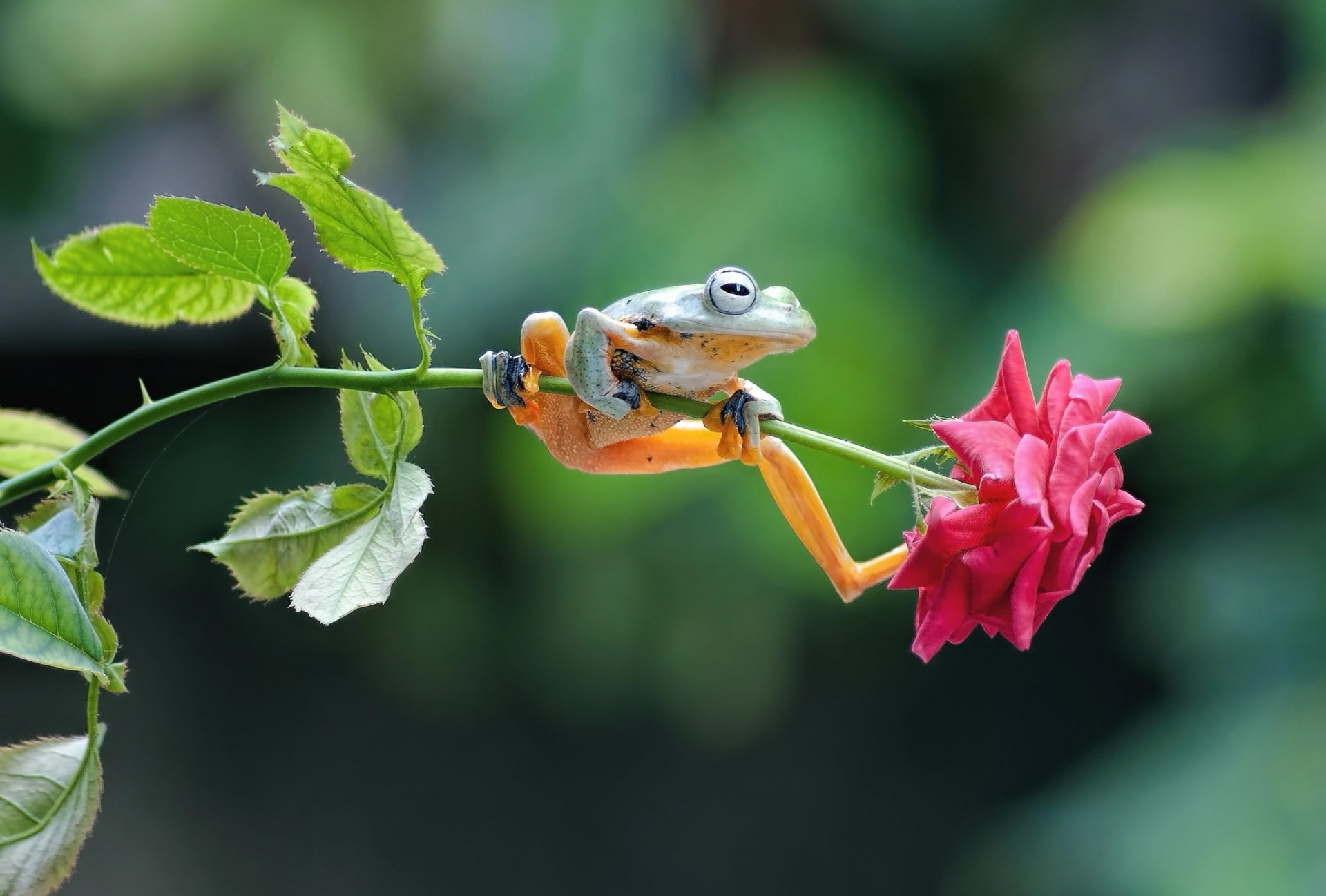 Djur - Groda  Amphibian Wildlife Depth Of Field Rose Bakgrund
