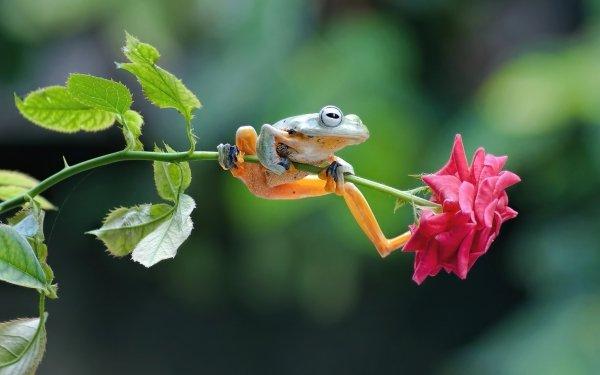 Animal Frog Frogs Amphibian Wildlife Depth Of Field Rose HD Wallpaper | Background Image