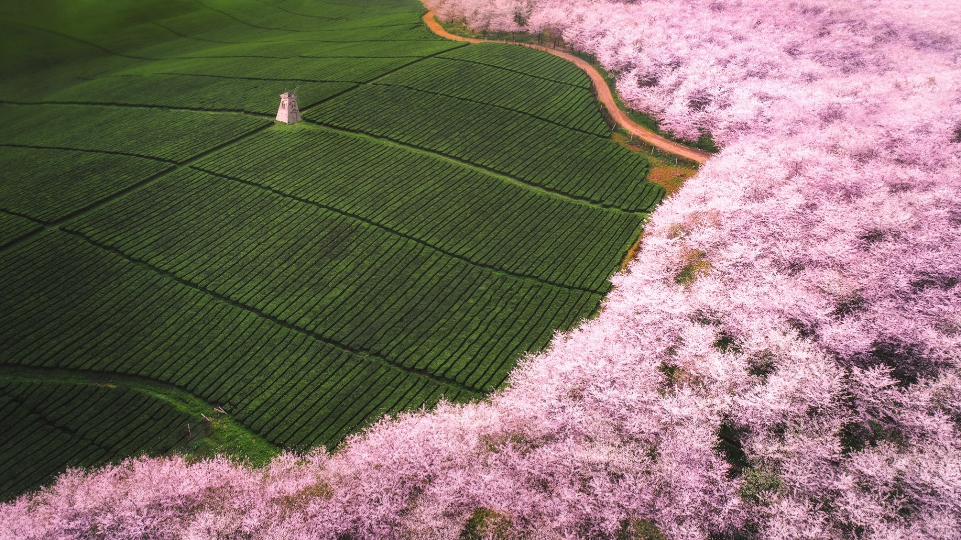 Man Made - Tea Plantation  Field Aerial Blossom Nature Wallpaper