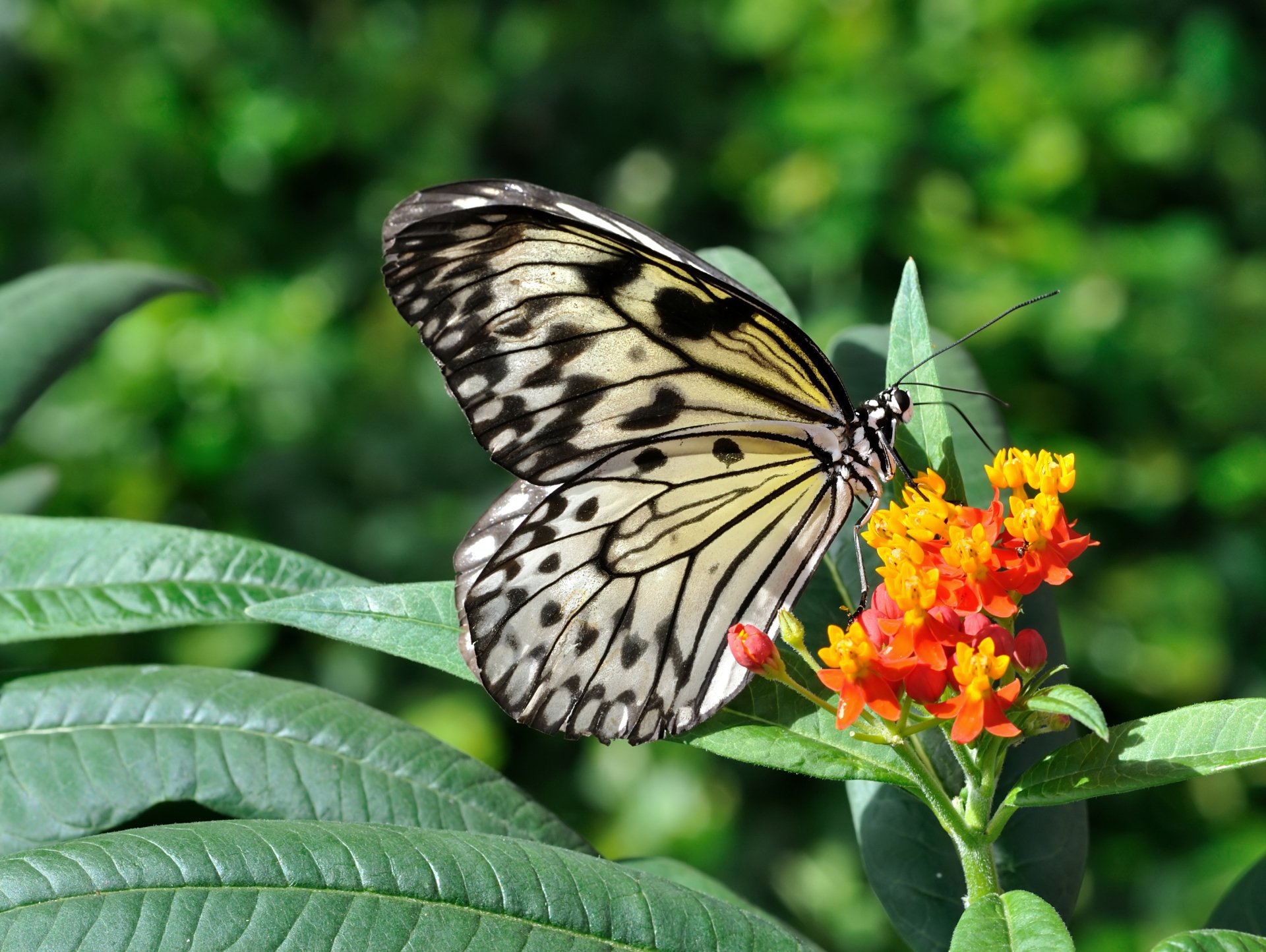Paper Kite on Mexican Butterfly Weed HD Wallpaper ...
