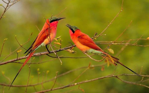Animal Bee-eater Birds Bee-Eaters Wildlife Bird Branch Carmine Bee-Eater HD Wallpaper | Background Image