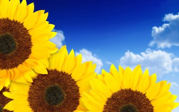Earth - Sunflower Wallpapers and Backgrounds ID : 92935