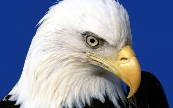 Animal - Eagle Wallpapers and Backgrounds ID : 92947
