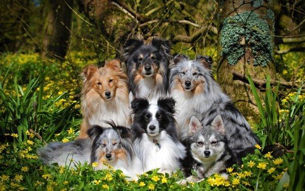 Animal Shetland Sheepdog Dogs Dog Pet Alaskan Klee Kai HD Wallpaper   Background Image