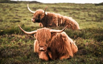 2 Highland Cattle Hd Wallpapers Background Images Wallpaper Abyss
