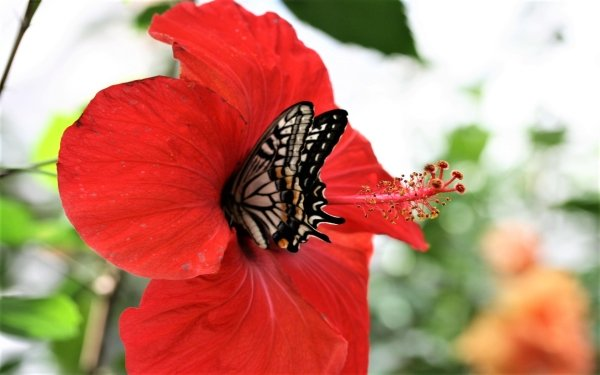 Animal Butterfly Flower Hibiscus HD Wallpaper   Background Image