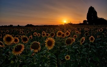 73 4k Ultra Hd Sunflower Wallpapers Background Images