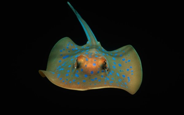 Animal Stingray Fishes Underwater Sea Life Bluespotted Stingray HD Wallpaper | Background Image