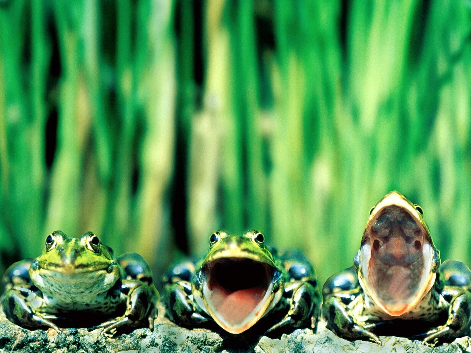 Animal - Frog  Green Nature Wallpaper