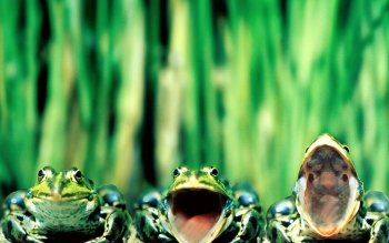 Animal - Frog Wallpapers and Backgrounds ID : 94259