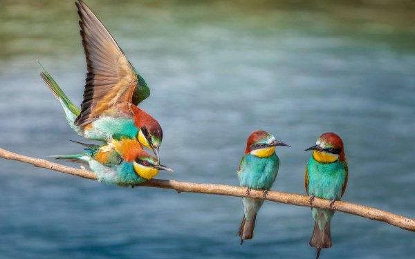 Animal Bee-eater Birds Bee-Eaters Bird Wildlife HD Wallpaper | Background Image
