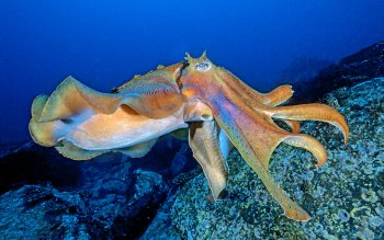 Animal - Octopus Wallpapers and Backgrounds ID : 95105