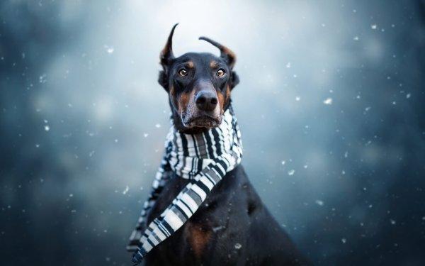 Animal Doberman Pinscher Dogs Dog Pet Scarf HD Wallpaper | Background Image