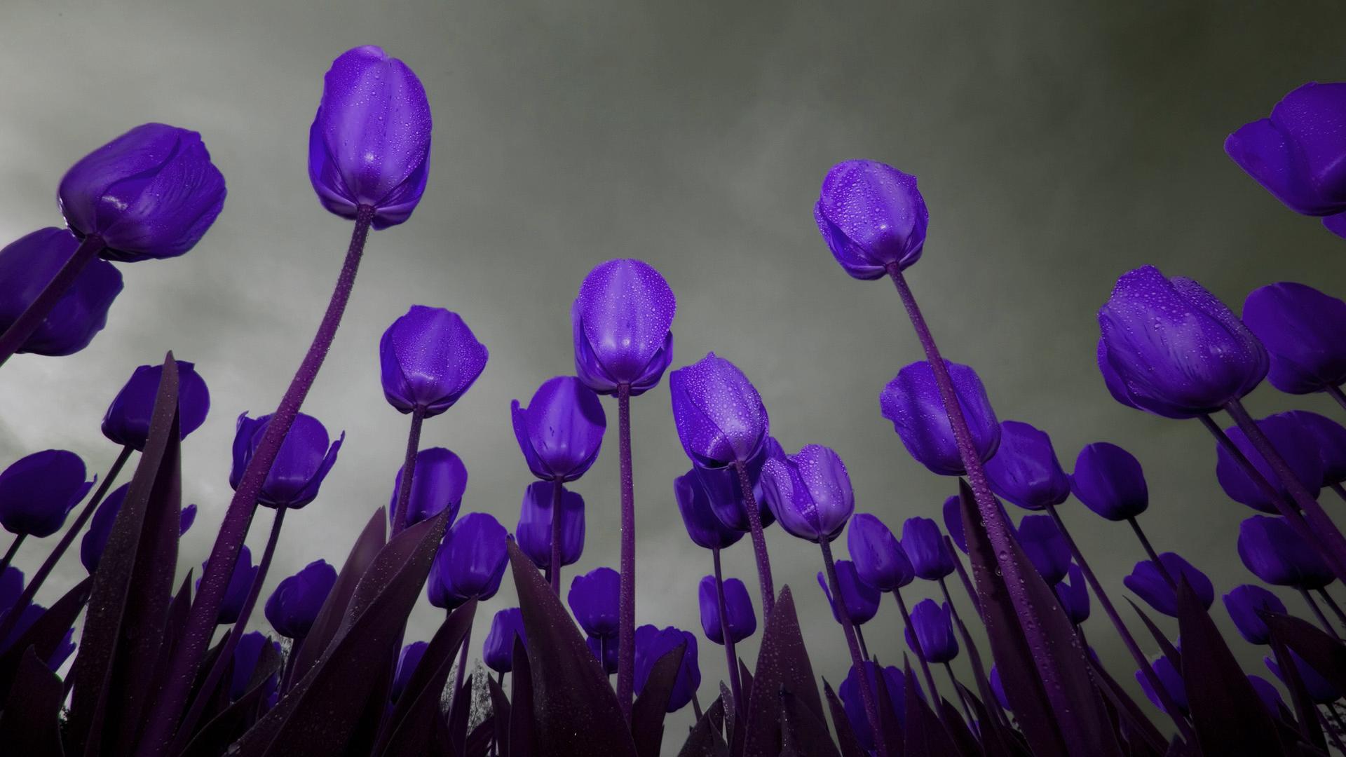 Tulipan Fondo De Pantalla Hd Fondo De Escritorio 1920x1080 Id