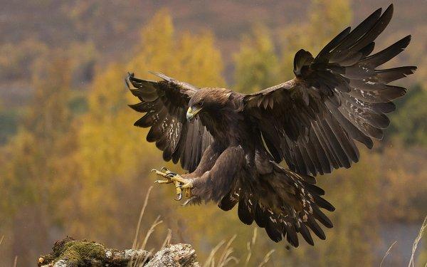 Animal Golden Eagle Birds Eagles Eagle HD Wallpaper | Background Image