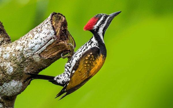 Animal Woodpecker Birds Woodpeckers Bird HD Wallpaper | Background Image