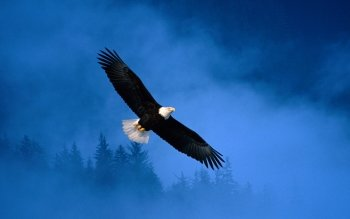 Animal - Eagle Wallpapers and Backgrounds ID : 99459