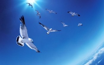Animal - Seagull Wallpapers and Backgrounds ID : 99